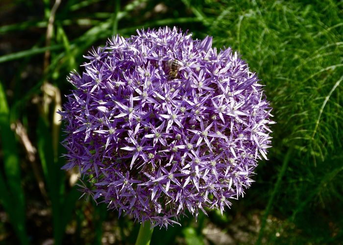 bee on allium ball Ultraviolet Color Of The Year 2018 Allium Allium Giganteum Life Animal Themes Backgrounds Beauty In Nature Bee Botany Close-up Field Flower Flower Head Flowering Plant Focus On Foreground Fragility Freshness Garden Growth Insect Land Nature Outdoors Petal Purple Springtime #FREIHEITBERLIN