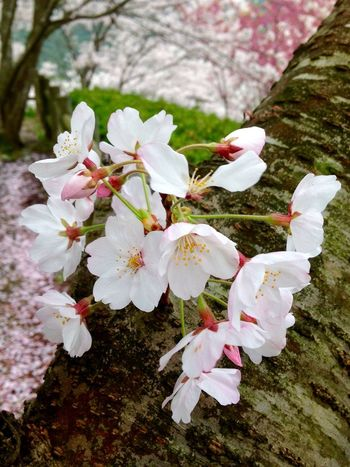 """""""For your radiant beauty, easily surpasses the essence of this flower."""" Springromance Love Is In The Air White Color Flower Petal Nature Flower Head Almond Tree Springtime Tree Blossom Growth Branch No People Beauty In Nature Freshness Outdoors Day Close-up (null)Saikai City Japan"""