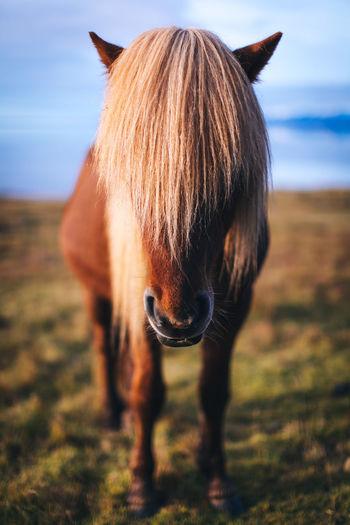 Iceland Domestic Livestock Mammal Domestic Animals Animal Pets Horse Animal Themes Animal Wildlife One Animal Land Animal Hair No People Nature Day Field Focus On Foreground Vertebrate Mane Hair