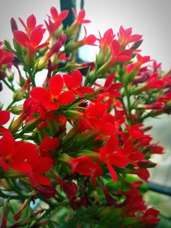 Red Flower Growth Plant Nature No People Outdoors Flower Head Freshness Love <3 Beauty In Nature Day Close-up