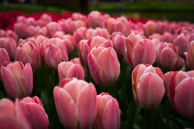 Beautiful Tulips Beauty In Nature Bud Close-up Day Flower Flower Bud Fragility Freshness Girl Nature Outdoors Petal Pink Flower Red Flower Spring Tulip Tulip Tulip Bud Tulips🌷 Yellow Tulip