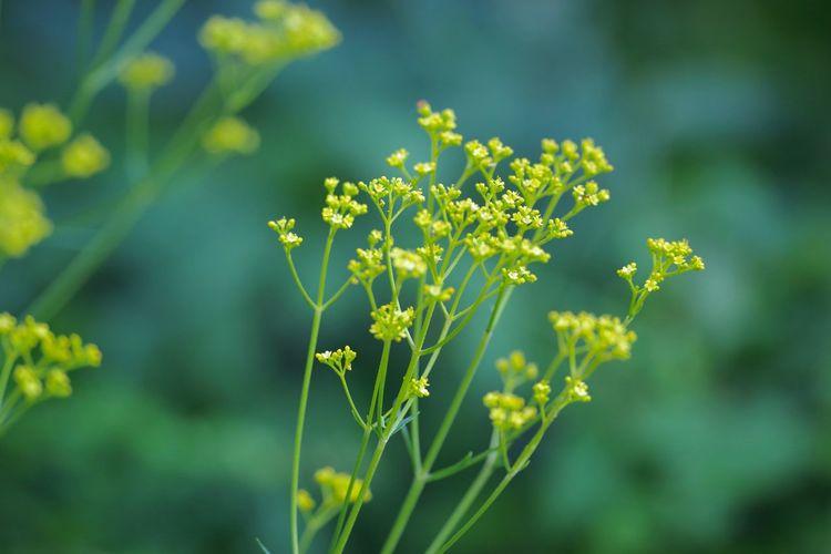 Patrinia Scabiosifolia Day Flower Freshness Outdoors Plant Yellow 女郎花