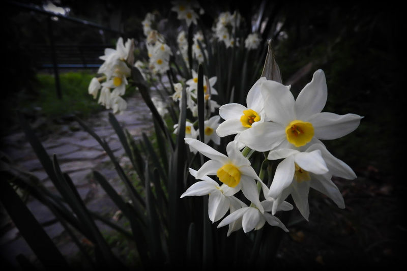 #EyeEmEsterlinda Beauty In Nature Flower Fragility Italy Narcism Narcissus Flowers Nature Psycology  White Flower