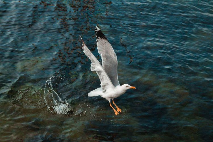 Seagull flying over lake