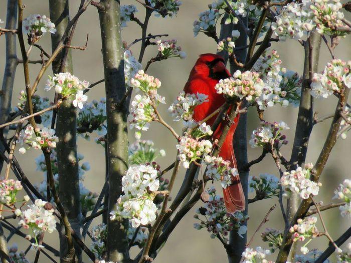Cardinal perching on flowering tree