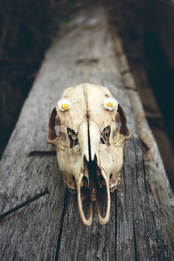 Close-up of animal skull and flowers on wood