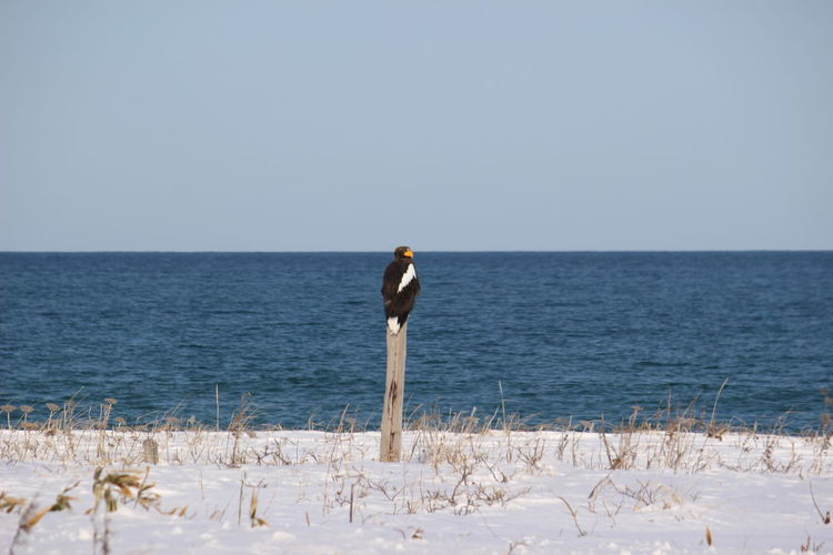 Steller's sea eagle staying a tree on beach against clear sky