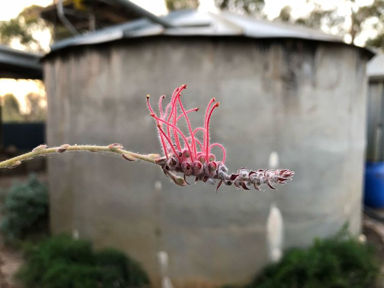 Woolly toothbrush Australian Flower Australian Plants Australian Flora Flower Grevillea Plant Day Focus On Foreground Nature No People Flowering Plant Built Structure Pink Color