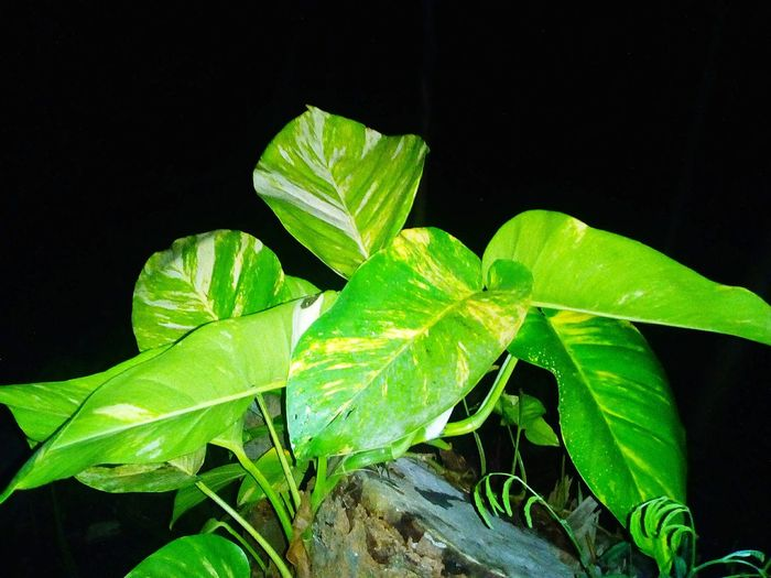 Creeping Plant Green And Yellow Leaves Plant