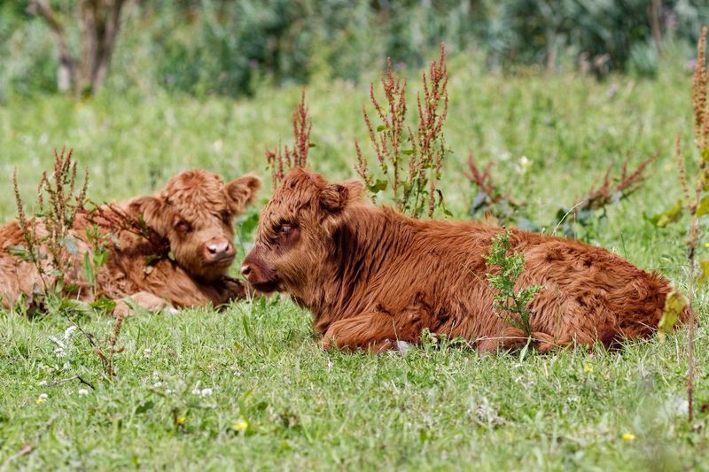 Young Highland Cattle Schotse Hooglanders Animals In The Field