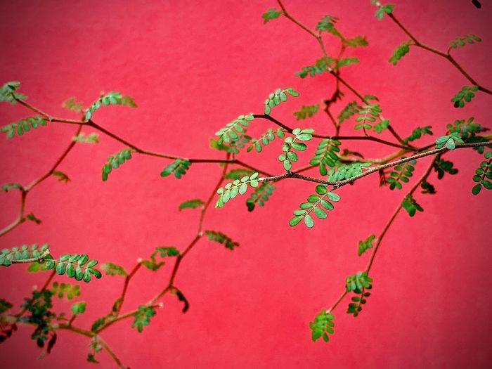 Low angle view of pink flowering tree against red wall