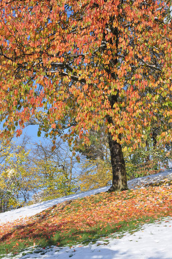 cherry tree with autumn leaves and snow Autumn Colors Autumn Leaves Weather Autumn Cherry Tree Early Snowfall Fruit Trees Landscape Outdoors Season  Snow Winter Trees
