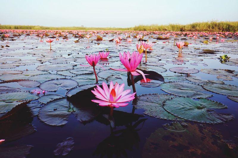 Dawn of the day Thailand Lotus Flower Morning Sky Dawn Thailand_allshots