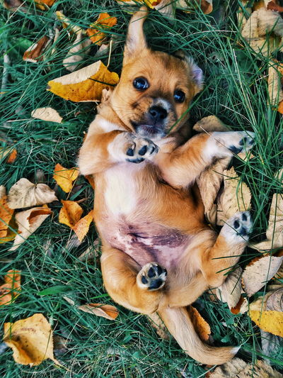 Directly above portrait of dog lying on field