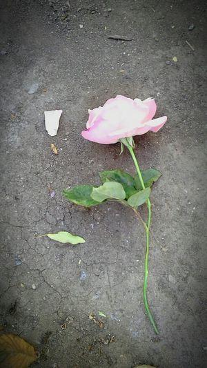 Rosa Petalos Tallo Naturaleza Nature Photography Nature_collection Suelo Tierra EyeEm Nature Lover Eyeemphotography EyeEm Flower Grietas Hojas De Flor