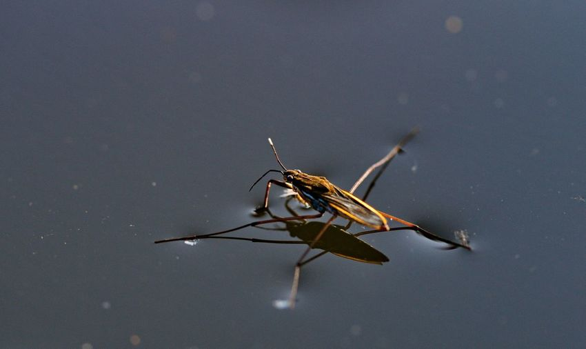 Close-up of water strider on pond
