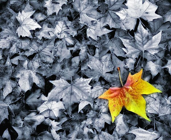 loneliness Only Autumn Leaf Change Maple Leaf Leaves Day Nature No People Abundance Beauty In Nature Maple Close-up Fragility Outdoors