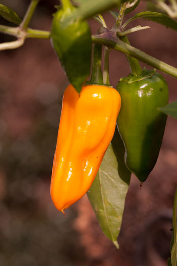 Close-up of yellow bell peppers on plant