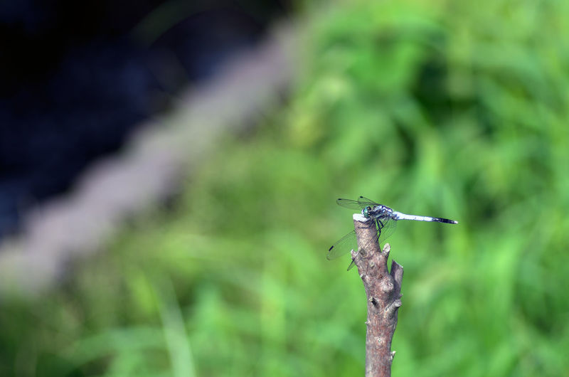 Animal Themes Animal Wildlife Animals In The Wild Close-up Damselfly Day Focus On Foreground Grass Green Color Growth Insect Nature No People One Animal Outdoors Plant Stick - Plant Part