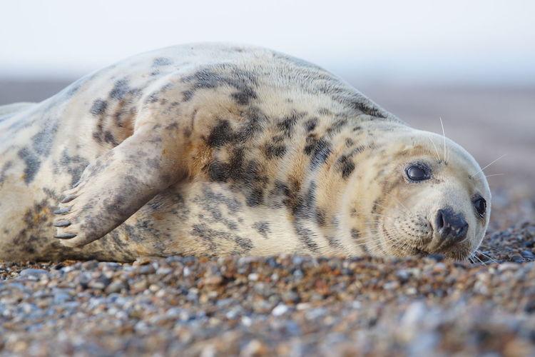 Animal Animal Themes Animal Wildlife One Animal Seal - Animal Sea Nature Water Beach Marine Underwater Seal Sealife Sashalmi Nature