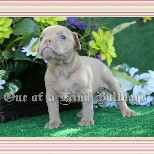 Check out this beauty. First ever solid colored lilac or champagne bulldog. No white on her at all. OEB Oebpuppies Oneofakindbulldogs Oldebulldogge oldenglishbulldogs oneofakind oebbreeder oldeenglishbulldogges bulldogs bulldogges igbulldogs bulldogsofinstagram premierbreeder puppy puppies puppiesofinstagram lilacbulldogs lilacbulldog freakofnature unique