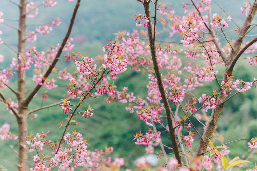 Beauty In Nature Blooming Branch Close-up Day Flower Flower Head Fragility Freshness Growth Low Angle View Nature No People Outdoors Pink Color Plant Sky Springtime Tree