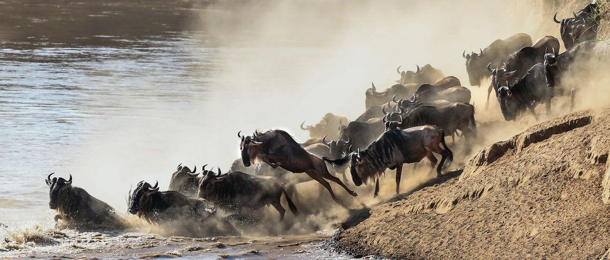 Wildebeest wading into water
