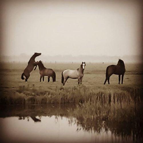 Morningwalk Horses Nature Oldlook Natureporn Animals LoveNature 6am Misty Fog Vintage