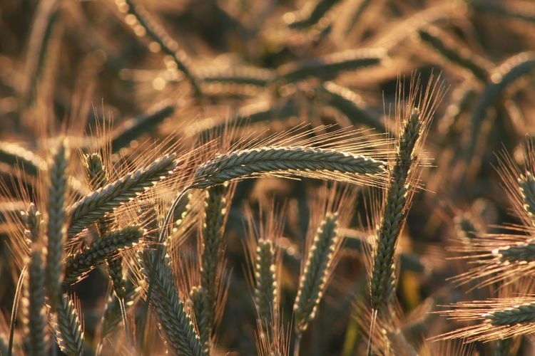 Close-up of barley field