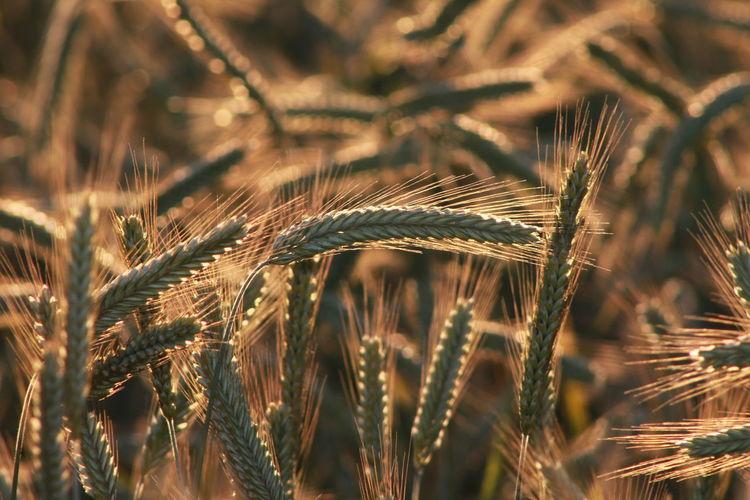 Close-Up Of Barley Field