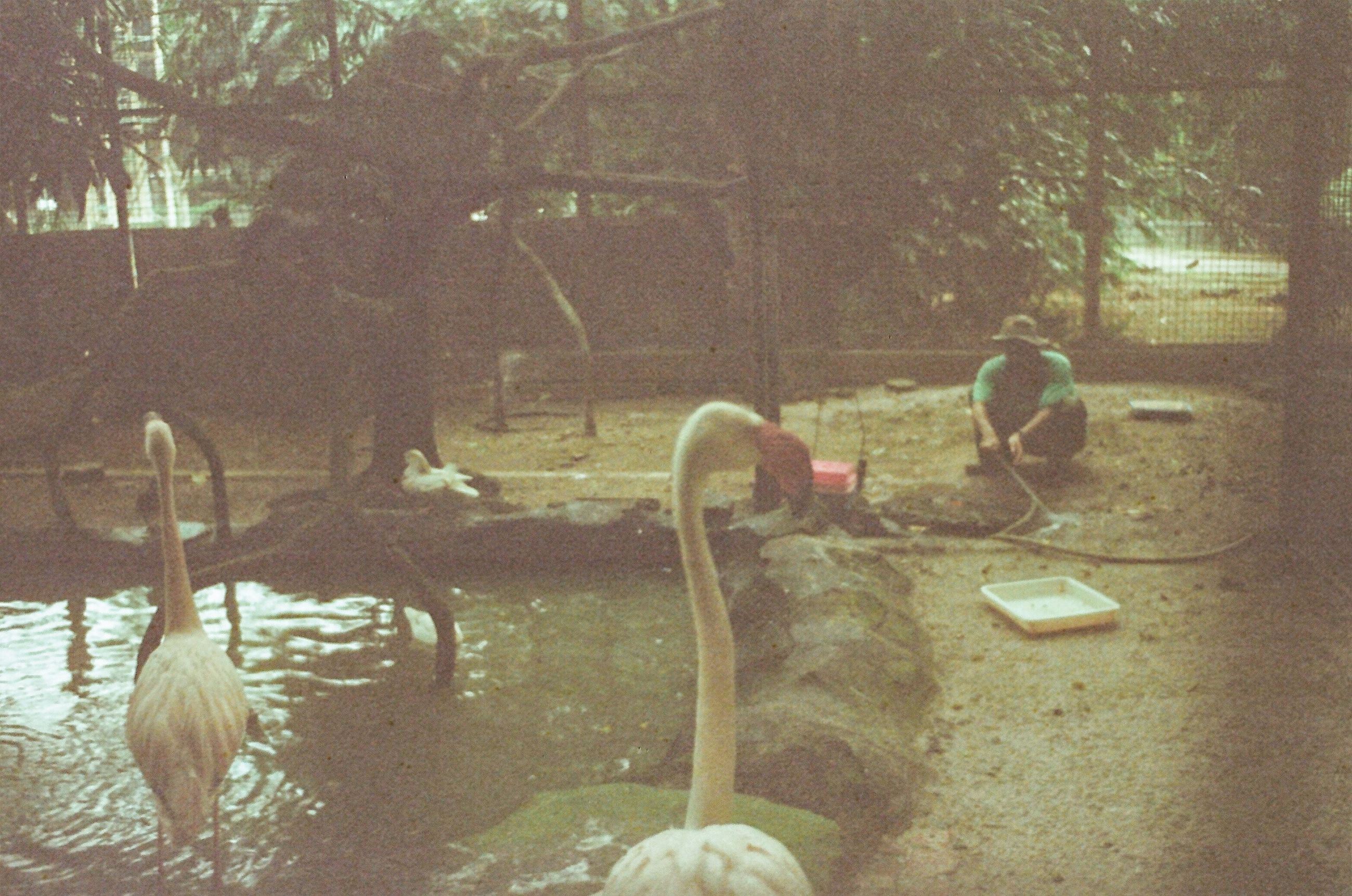 no people, animals in the wild, animal themes, nature, day, tree, outdoors, bird, swimming, water, swan