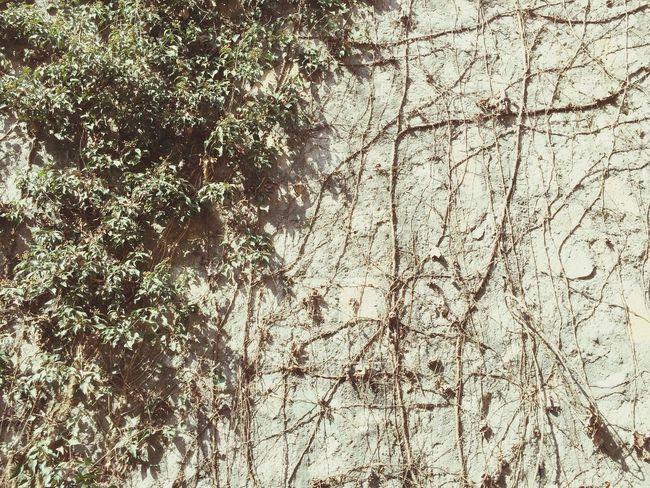 我家后院的爬山虎,一半四季常青,一半四季轮回。 Enjoying Life