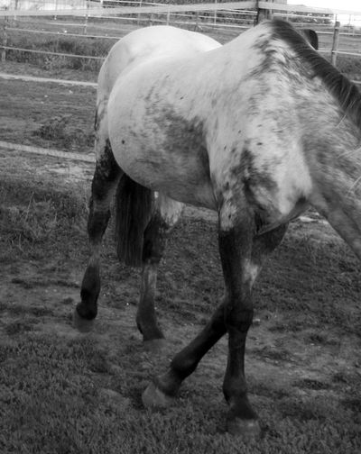 Body of horse bnw - Horse part close up Horse Bnw Body Of Animal Horse Body Black Paws Walking Paws Field Horse Photography  Black And White Black And White - Horse Close-up