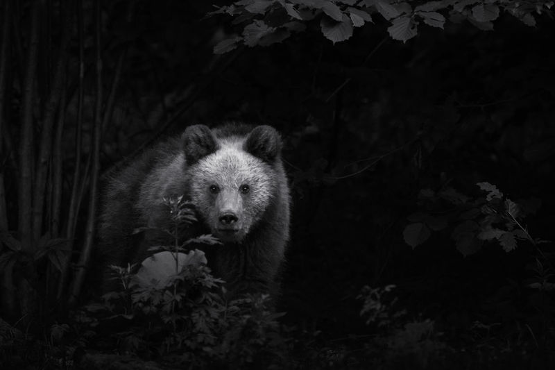 European brown bears in the wild forest. Bear Animal Wildlife Wild Mammal BIG Nature Animals In The Wild Green Forest Close Brown Brown Bear Background Powerful Male Dangerous Standing Habitat Adult Portrait Outdoors Trees Fur Strong Animal Wildlife Vertebrate Land No People Plant