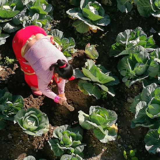 Farming Growth Leaf Nature Plant Cabbage One Person Day Green Farm Farming Vegetable Vegetables Working Hard Woman At Work Womanpower Fresh Produce Organic Nochemicalsneeded Traveling Home For The Holidays Finding New Frontiers