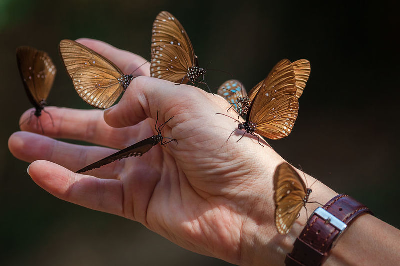 Close-up shot of butterflies sitting on male hand. Pala-U Waterfall, Thailand. Animals In The Wild Butterfly Butterfly - Insect Close-up Focus On Foreground Human Body Part Human Hand Male Personal Perspective Real People Sitting Watchband
