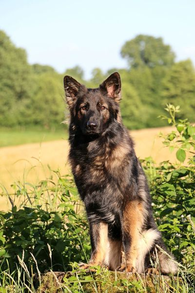 german shepherd is sitting at a corn field in the sunshine Sitting Animal Themes Corn Field Day Dog Domestic Animals Field Flower German Shepherd Grass Landscape Mammal Nature No People One Animal Outdoors Pets Plant Shepherd Sky Summer