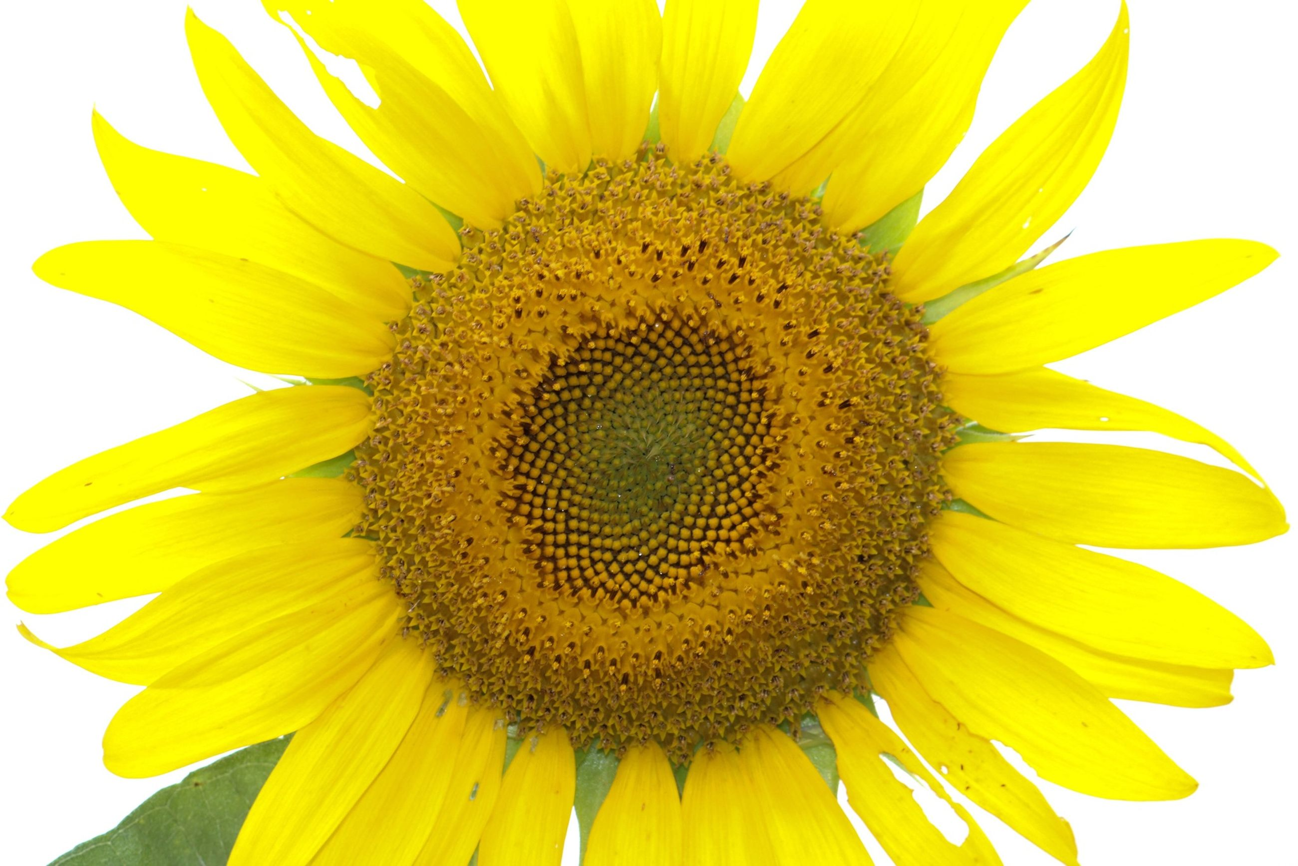 flower, yellow, petal, flower head, freshness, sunflower, fragility, pollen, growth, beauty in nature, close-up, single flower, nature, blooming, white background, plant, clear sky, focus on foreground, no people, outdoors