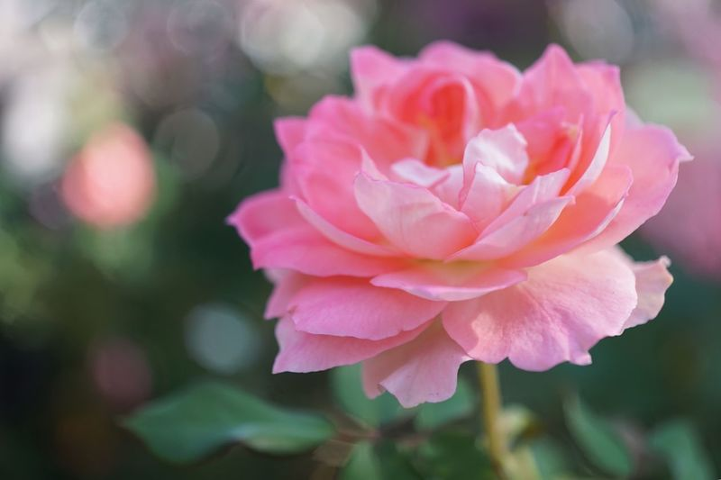 Freshness Flower Petal Beauty In Nature Nature Focus On Foreground Flower Head Pink Color Close-up No People Fragility Outdoors Rose - Flower Blooming Plant Day Growth Relaxing EyeEm Nature Lover