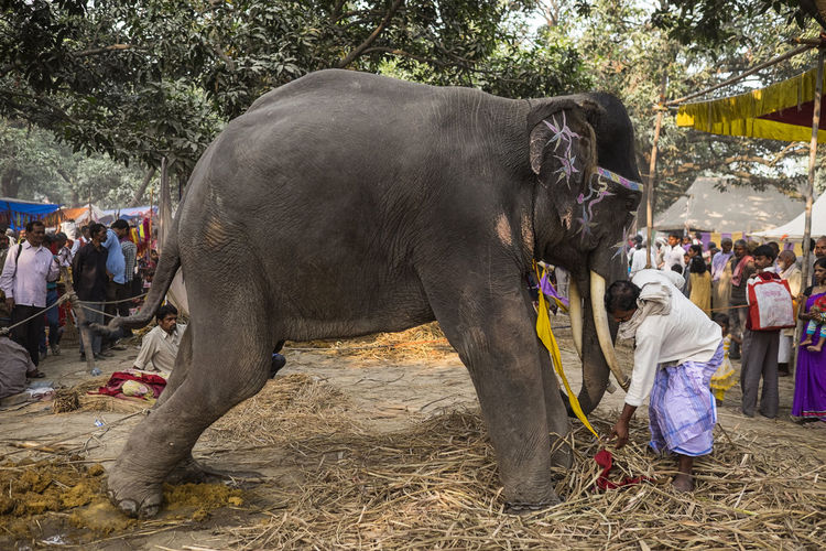 Mahout caring for his elephant during the Sonepur Mela festival, Bihar Adult Bihar Care Day Ears Elephant Elephant Ears Hajipur India Indian Elephant Ivory Large Large Animal Love Mahout Mammal Outdoors People Sonepur Sonepurmela Straw Travel Travel Photography Trunk Tusk
