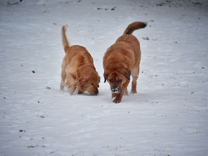 Animal Themes Domestic Animals Dog Mammal Pets Snow Cold Temperature Playing Winter Nature No People Togetherness Outdoors Day Cold Dogs Of EyeEm Dogs Golden Retriever Pets Of Eyeem Pet Photography  Snow ❄ Snow Covered Nature Weather On A Walk