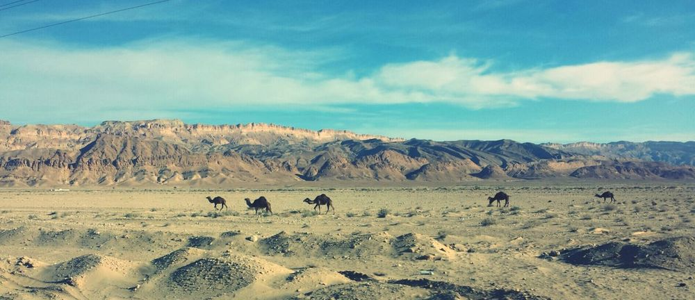 Dromedaries in the desert, Tunis. Animals Tunis Taking Photos Check This Out