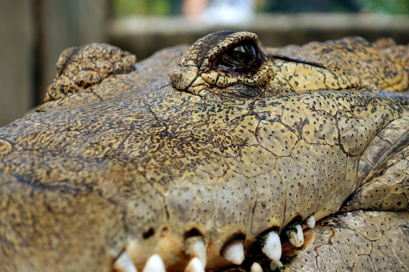 Krokodile close-up in Yucatan Discovermexico Travel Danger Dangerous Animals Crocodile EyeEm Selects Animal Themes Animal Animals In The Wild Animal Wildlife Reptile One Animal No People Close-up Nature Outdoors Amphibian Animal Head