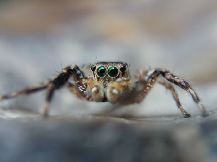 Animal Themes Animal Wildlife Animals In The Wild Close-up Jumping Spider No People One Animal Outdoors Selective Focus Spider