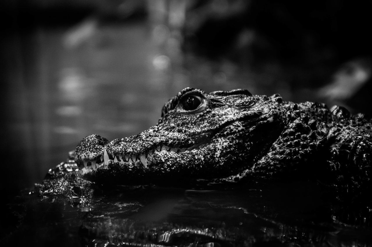 Close-Up Of Crocodile On Rock By Lake