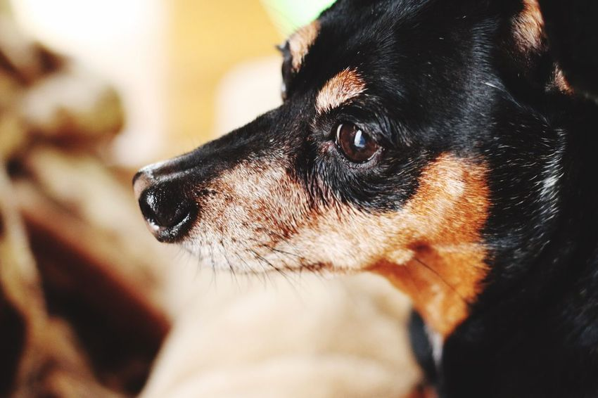 Dog Domestic Animals Pets Animal Themes Mammal One Animal Black Color Close-up Animal Head  Indoors  Focus On Foreground No People Day Canon Canon 70d Japan Photography Japan