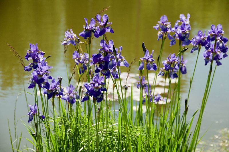 Lake Flower Head Flower Iris - Plant Purple Close-up Plant Grass Green Color Water Plant In Bloom Blooming Botany