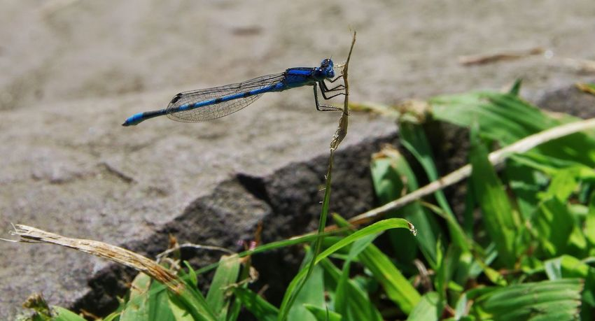 Waiting out it's prey. Damselfly One Insect Animal Wildlife Insect Day Outdoors Nature Close-up Beauty In Nature Perching Photography