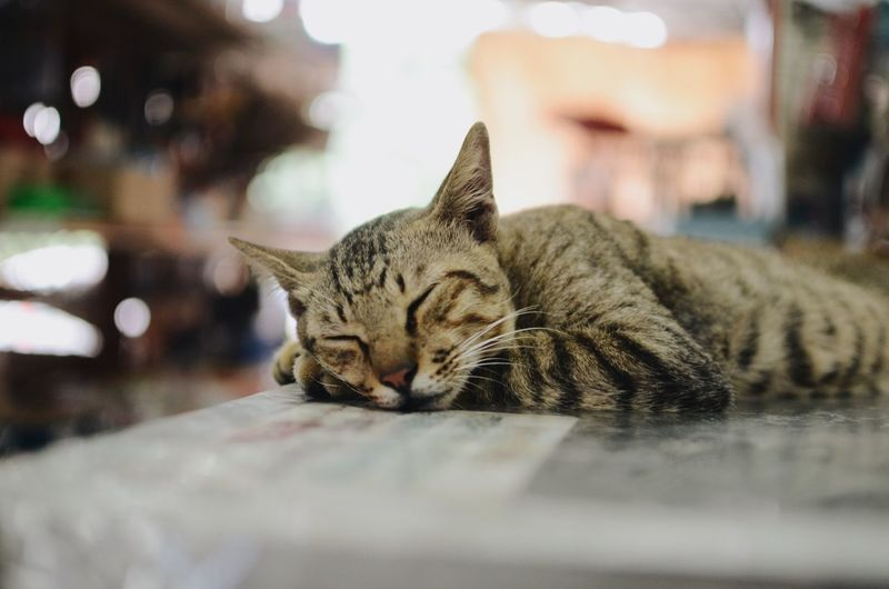 sleepy cat with bokeh background Cat Pets Feline One Animal Mammal Domestic Cat Domestic Whisker Eyes Closed  Lying Down Vertebrate Animal Domestic Animals Animal Themes Relaxation Resting Indoors  Close-up No People Focus On Foreground