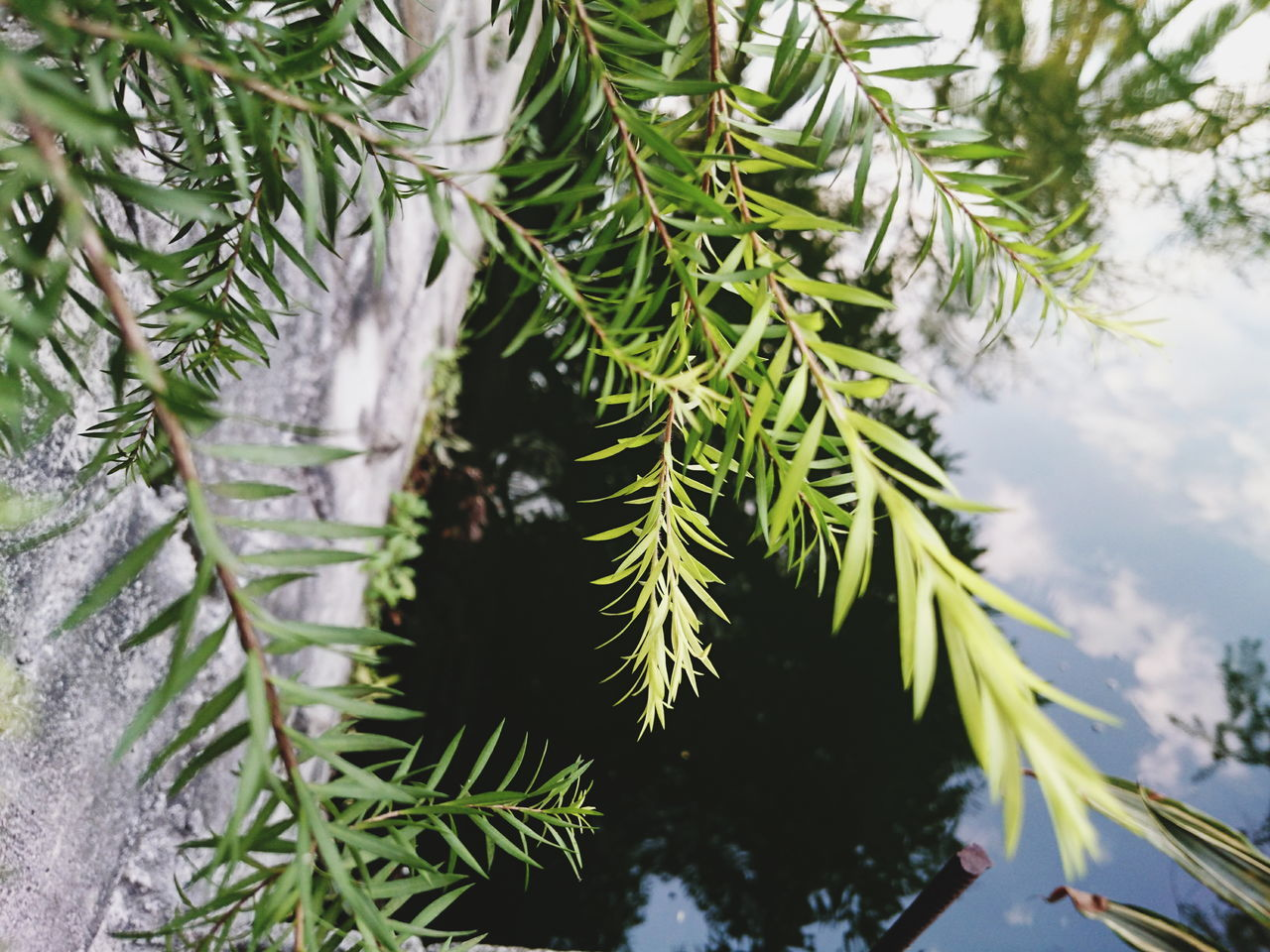 growth, nature, green color, plant, no people, tree, focus on foreground, winter, close-up, snow, cold temperature, day, outdoors, needle - plant part, pine tree, christmas tree, high angle view, beauty in nature, leaf, fir tree, spruce tree, branch, needle, freshness